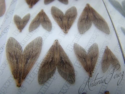 Caddis Wings Haute-Définition Hemingway's G Tan